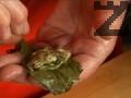 Във всяко листо поставяме по малко от плънката, оформяме сармички.